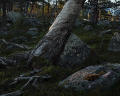 Stora Sjöfallet Nationalpark II (Gustaf_E) Tags: forest kväll landscape landskap laponia lappland nationalpark norrland pine skog storasjöfallet storasjöfalletnationalpark sverige sweden tall urskog woods
