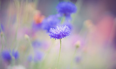wildflower (Dhina A) Tags: sony a7rii ilce7rm2 a7r2 a7r iscoopticultramc95mmf2 isco optic ultra mc 95mm f2 cinema projector projection lens schneider soft creamy smooth bokeh manualfocus iscooptic wildflower