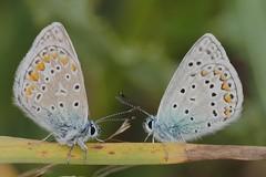 2842_butterflies (alfred.reinartz) Tags: insekt insect schmetterling butterfly bläuling