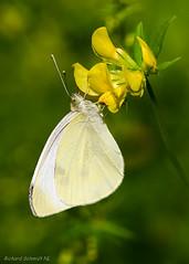 Pieris brassicae (De Hollena) Tags: butterfly cabbagewhite grootkoolwitje groserkohlweisling kohlweissling koolwitje largewhite mariposa papillon pierisbrassicae piérideduchou schmetterling vlinder