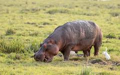 Hippo - Hippopotamus amphibius - Nijlpaard (cradenborg) Tags: c cceradenborg 2019 ambosellinp artiodactyla evenhoevigen hippopotamidae hippopotamus hippopotamusamphibius kenia kenya koereiger nijlpaard openbaar public