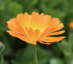 Gerbera #1 (MJ Harbey) Tags: gerbera flower orangegerbera asterid asterales asteraceae mutisieae sissinghurstcastlegardens sissinghurst cranbrook kent nikon d3300 nikond3300 nationaltrust