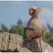 Mantelbaviaan - Hamadryas baboon (Papio hamadryas) in Safaripark Beekse Bergen ...