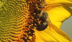 2489e2  sunflower snacking time (jjjj56cp) Tags: bee insect closeup macro jennypansing p1000 coolpixp1000 nikoncoolpixp1000 inthewild sunflower flowers blossoms blooms center details gormanheritagefarm gorman summer august