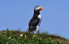 Puffin - The Farne Islands in Northumbria. (One more shot Rog) Tags: farne farneislands thefarneislands stapleisland innerfarne birds northumbria wildlife nature puffins puffin cormorants
