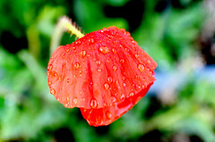 DSC_9084 (jgaverschuren) Tags: poppy bloem klaproos natuur