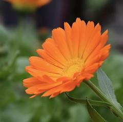 Gerbera #2 (MJ Harbey) Tags: gerbera flower orangegerbera asterid asterales asteraceae mutisieae sissinghurst cranbrook kent sissinghurstcastlegardens nationaltrust nikon d3300 nikond3300