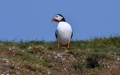 Puffin near its burrow - The Farne Islands in Northumbria. (One more shot Rog) Tags: farne farneislands thefarneislands stapleisland innerfarne birds northumbria wildlife nature puffins puffin cormorants