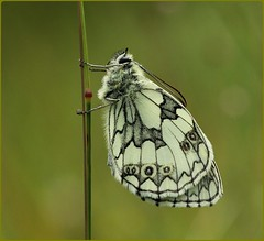 Male Marbled White - Sheltering from the wind (glostopcat) Tags: marbledwhitebutterfly butterfly lepidoptera insect invertebrate macro summer july glos butterflyconservation prestburyhillnaturereserve
