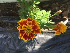 natural elegance (77ahavah77) Tags: flower flowers garden plant color summer maine nature