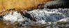 sea-lion water trough..