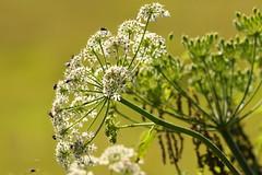 Common Hogweed at Titchfield Canal, Hampshire, UK (Art-G) Tags: flower white wildflower commonhogweed titchfieldcanal titchfield hampshire uk canon eos7dmkii sigma150600c bokeh sundaylights