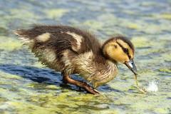 Wood Duck duckling (Sandy Paiement) Tags: woodduck aixsponsa