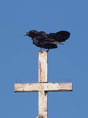 Crow on Cross of Church Tsigeetchich (oneofmanybills) Tags: crow cross crucifix church tsiigehthich tsigeetchich dempsterhighway mackenzieriver inuvik northwestterritories canada