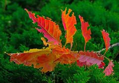 Cherry on cedar (L@nce (ランス)) Tags: cherry leaf leaves cedar jamesbay victoria canada britishcolumbia nikkor nikon micro
