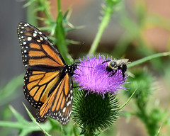 810_4740.Monarch and Bumblebee (laurie.mccarty) Tags: monarch monarchbutterfly butterfly bumblebee bee nature naturephotography thistle garden