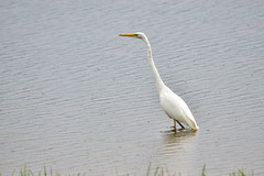 Белая цапля под дождём (Yuriy Kuzmenok) Tags: птицы птица природа цапля белаяцапля животные