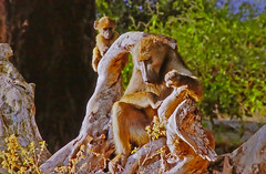 AFRICA - Monkeys: Mom and Baby (Jacques Rollet (Little Available)) Tags: africa animal singe monkey
