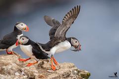 Make Way! - Atlantic Puffin (Osprey-Ian) Tags: atlanticpuffin iceland grimseyisland