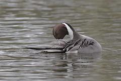 Male Pintail Duck - Ana's acuta (Phasmomantis) Tags: male pintail duck anas acuta wildfowl wildlife nature pentax 300mmf4 wwt bird