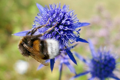 White-Tailed Bumblebee on Sea Holly