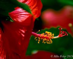 BAP HIbiscus (BFS Man) Tags: bayareapark d500 houston nikon texas bloom blossom flower hibiscus park