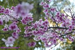 Sakura Details, Forest Hills, Jandira, Brazil (Sebastiao P Nunes) Tags: sakura cerejeiradojapão prunusserrulata rosaceae cerejeirasemflor floweringsakuras hiragana cherry cherryblossom snunes nunes spnunes spereiranunes panasonic lumixfx300 foresthills