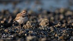 20190815-_47A9158.jpg (Spirithills (Leah Gray)) Tags: sidney shorebird killdeer bazanbay rockbeach bcshorebirds