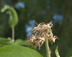 The Corner's Back (LeBaroDea) Tags: riverwoods milkweed milkweedbeetle provo utah nikond7500 provoriver leaf leaves tree bokeh flower floral edge red antennae antenna eyes peeking