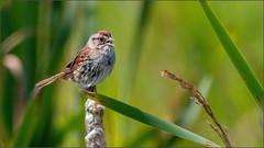 (c)WMH_2019_08_15 Swamp Sparrow (WesleyHowie) Tags: birds brookfieldmarsh canada location novascotia sparrow swampsparrow wildlife