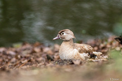 20181229_Vincennes_Canard carolin (thadeus72) Tags: aixsponsa anatidae anatidés ansériformes aves birds canardcarolin oiseaux woodduck