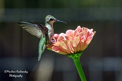 227/365 Ruby-throated Hummingbird (Maggggie) Tags: rubythroatedhummingbird hummingbird flower bird green orange wings flutter 365 365the2019edition 3652019
