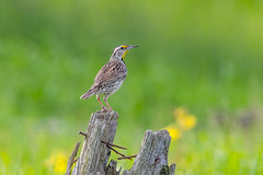 Eastern Meadowlark (Joe Branco) Tags: green ontario canada bird nature photoshop lightroom branco joe easternmeadolark joebrancophotographer