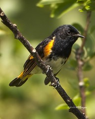 American Redstart (Life Bird) (wfgphoto) Tags: americanredstart perched singing color leaves branches