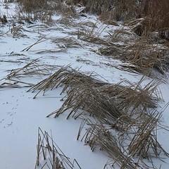 #winter #walk #❄️#☃️ #⛸ #poland #poznań #sołacz #park #frozen #pond #cane #afternoon #sunday #weekend #snow (pinus.acer) Tags: winter walk ❄️☃️ ⛸ poland poznań sołacz park frozen pond cane afternoon sunday weekend snow