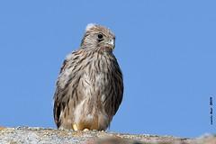(Enllasez - Enric LLaó) Tags: xoriguer cernícalo villafáfila 2019 aves aus bird birds ocells pájaros