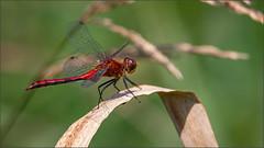 (c)WMH_2019_08_15 Band-winged Meadowhawk (WesleyHowie) Tags: bandwingedmeadowhawk brookfieldmarsh canada dragonfly insects location novascotia wildlife