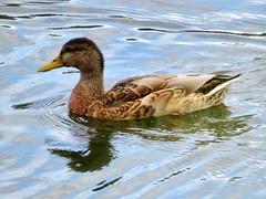 Eend - Duck (EeckhaoudtS) Tags: waterbird duck eend molenmeers zuurhoek