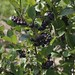 Aronia melanocarpa () 2019 photo