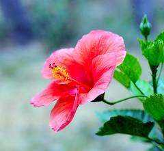 DSC_0600e ~ Hibiscus (BDC Photography) Tags: pipecreek texas usa flower hibiscus closeup bwfpro62mm010uvhaze1xfilter nikonafmicronikkor60mmf28dlens nikon nikond3