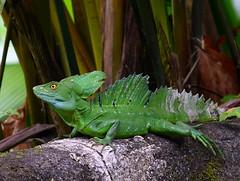 Plumed Basilisk (male) (danglasspool) Tags: basilisk lizard reptile wildlife animal costarica animalplanet green scales herptile jungle rainforest arenalvolcano arenal run nature plumed nikon nikond3300 d3300 danglasspool explorerdan sails dragon