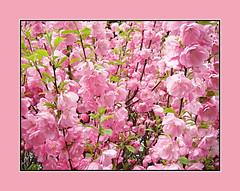 Double Pink Blossoms (bigbrowneyez) Tags: flowers bright pink gorgeous fabulous lovely pretty delightful special fiori ottawa canada fleurs nature natura petals blossoms shrub momsgarden striking frame cornice floweringalmond fantastic joyful unique doublepinkblossoms luscious precious elegance elegant romantic