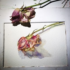 Day 1468. The #rose #painting for today. #watercolour #watercolourakolamble #sketching #stilllife #flower #art #fabrianoartistico #hotpress #paper #dailyproject (akolamble) Tags: rose painting watercolour watercolourakolamble sketching stilllife flower art fabrianoartistico hotpress paper dailyproject