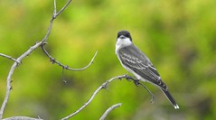 Eastern Kingbird (wildwest photo) Tags: easternkingbird