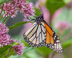 Monarch Butterfly on Joe Pye Weed_MG_3887 (ronzigler) Tags: animal butterfly insect weed blossom joe monarch invertebrates arthropod pye