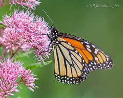 Monarch Butterfly on Joe Pye Weed _MG_3894 (ronzigler) Tags: monarch butterfly joe pye weed blossom animal arthropod invertebrates insect