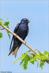 Male Purple Martin. (Daniel Cadieux) Tags: martin purplemartin swallow maple naturalperch perched resting atrest blue ottawa