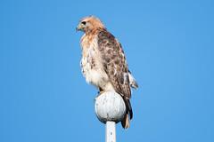 Red-Tailed Hawk 05 (judymtomlinson) Tags: bird birdphotographer birdphotography birdwatching nikond7500 ontariobirds londonontariocanada saunderspond wildlife wildlifephotographer wildlifephotography redtailedhawk