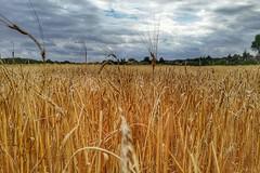 Soon Straw (Mike Bonitz) Tags: deutschland germany schleswigholstein lehnsan museumshof feld field getreide grain himmel sky wolken clouds instragram huaweip20