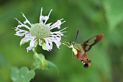 hummingbird moth clear wing august 15 2019 (Mel Diotte) Tags: hummingbird moth clear wing wild nature insect fast wings windsor ontario canada mel diotte explore